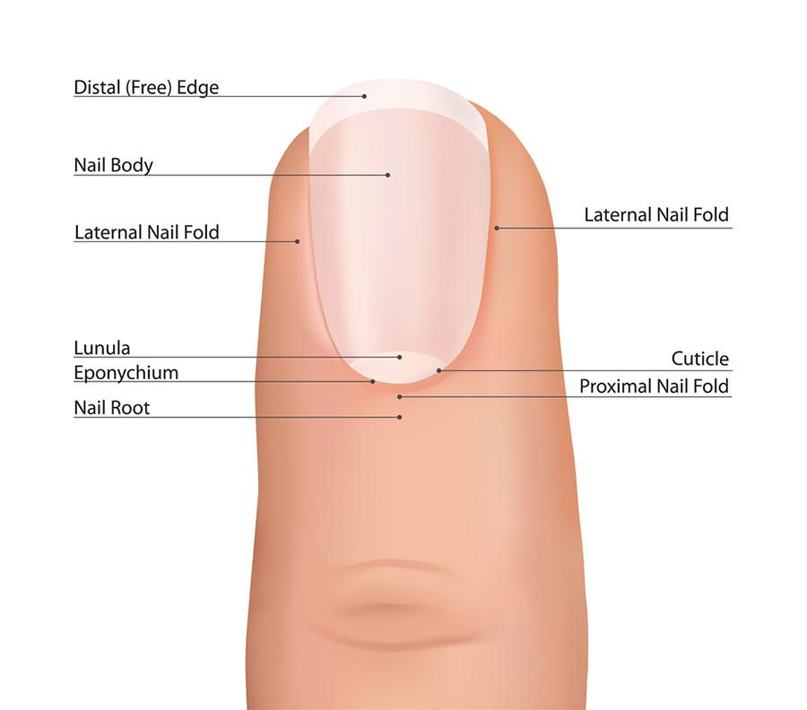 How Nails Grow – Which Parts are Active? I Explain